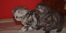Foto 5 Wundersch�ne BKH-Babys vom Kragener Eck zu verkaufen