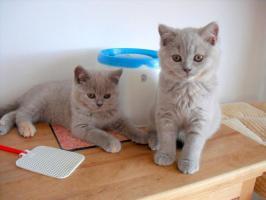 Foto 5 Wunderschöne BKH-Babys mit Papiere