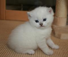 Foto 2 Wunderschöne BKH Colourpoint Kätzchen - die mit den blauen Augen -