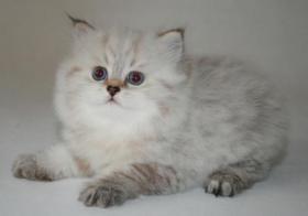Wunderschöne BKH Colourpoint Kätzchen - die mit den blauen Augen -