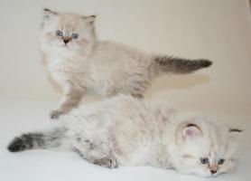 Foto 3 Wunderschöne BKH Colourpoint Kätzchen - die mit den blauen Augen -