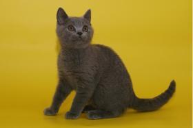 Wunderschöne BKH-Kartäuser Kitten abzugeben