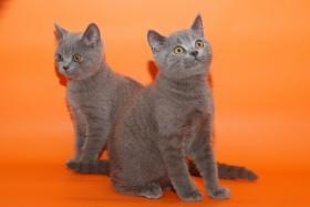 Foto 4 Wunderschöne BKH-Kartäuser Kitten abzugeben