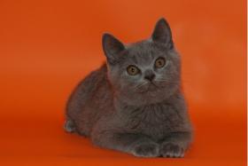 Foto 6 Wunderschöne BKH-Kartäuser Kitten abzugeben