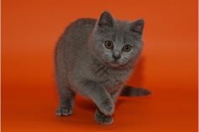 Foto 7 Wunderschöne BKH-Kartäuser Kitten abzugeben