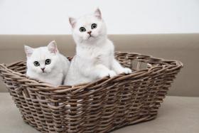 Wunderschöne BKH Katzenkinder in der Farbe silver-shaded