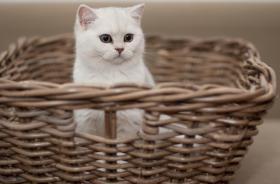 Foto 2 Wunderschöne BKH Katzenkinder in der Farbe silver-shaded