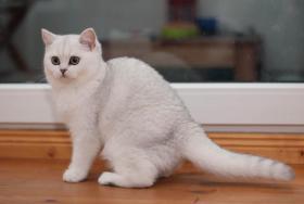 Foto 3 Wunderschöne BKH Katzenkinder in der Farbe silver-shaded