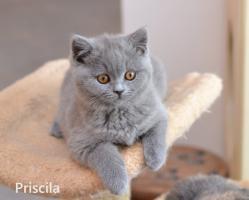 Foto 2 Wunderschöne BKH Kitten