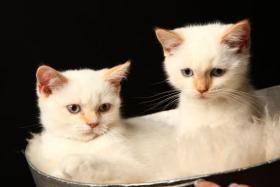 Wunderschöne BKH Kitten in Colourpoint