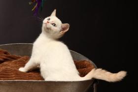 Foto 3 Wunderschöne BKH Kitten in Colourpoint