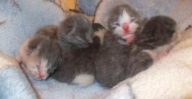Wunderschöne BKH Kitten in Cream und Bi-Colour