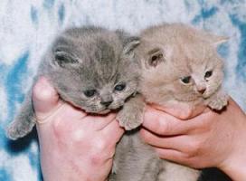 Wunderschöne BKH  und Scottisch Fold Babys!