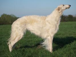 Foto 5 Wunderschöne Barsoi - Russischer Wolfshund Welpe