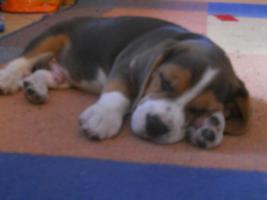 Wunderschöne Beagle Welpe zvk .-)gratis lieferung:-)