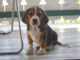 Foto 2 Wunderschöne Beagle Welpe zvk .-)gratis lieferung:-)