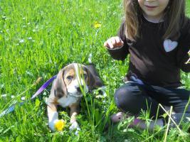 Foto 3 Wunderschöne Beagle Welpe zvk .-)gratis lieferung:-)