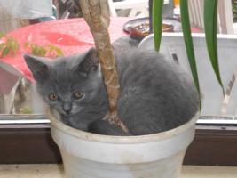 Wundersch�ne Bkh-Katzenkinder