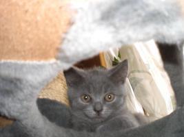 Foto 2 Wundersch�ne Bkh-Katzenkinder