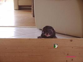 Foto 3 Wunderschöne Blackself, Iltis u. andere Frettchen Welpen