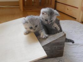 Foto 2 Wunderschöne Britisch Kurzhaar Kätzchen