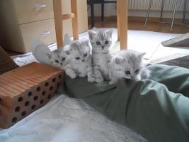 Foto 3 Wunderschöne Britisch Kurzhaar Kätzchen