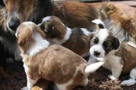 Foto 4 Wunderschöne Bunte Pugglemischlinge!