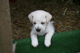 Foto 7 Wunderschöne Bunte Pugglemischlinge!