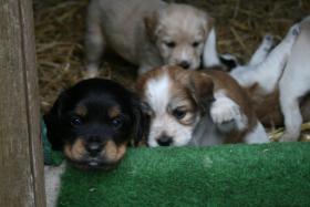 Foto 10 Wunderschöne Bunte Pugglemischlinge!