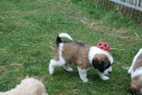 Foto 12 Wunderschöne Bunte Pugglemischlinge!
