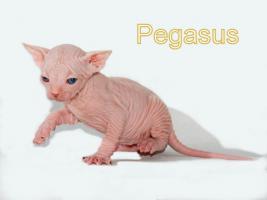 Foto 5 Wunderschöne Canadian Sphynx Kitten
