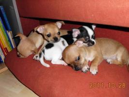 Wunderschöne Chihuahua Welpen!