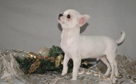 Foto 2 Wunderschöne Chihuahua Welpen