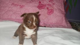 Foto 5 Wunderschöne Chihuahua Welpen