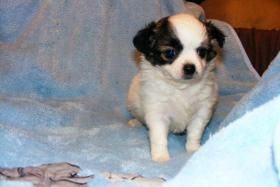 Wundersch�ne Chihuahua Welpen LH