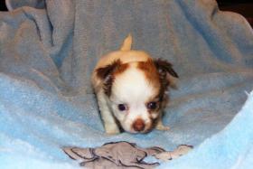 Foto 2 Wundersch�ne Chihuahua Welpen LH
