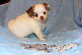 Foto 4 Wundersch�ne Chihuahua Welpen LH