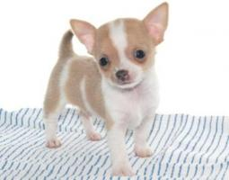 Wunderschöne Chihuahuawelpen in schoko, weiß, und merle mit Ahnentafel/Papiere