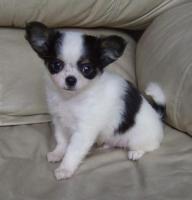 Foto 2 Wunderschöne Chihuahuawelpen in schoko, weiß, und merle mit Ahnentafel/Papiere