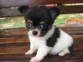 Foto 3 Wunderschöne Chihuahuawelpen in schoko, weiß, und merle mit Ahnentafel/Papiere
