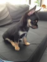 Foto 3 Wundersch�ne Chihuahuawelpen suchen ein liebevolles zuhause