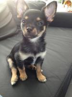 Foto 4 Wundersch�ne Chihuahuawelpen suchen ein liebevolles zuhause