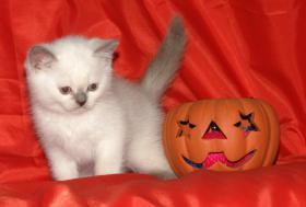 Wundersch�ne Colourpoint Britisch-Kurzhaar Kitten