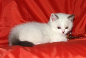 Foto 2 Wundersch�ne Colourpoint Britisch-Kurzhaar Kitten