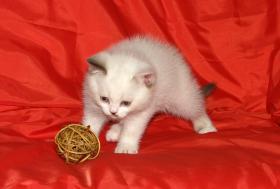 Foto 3 Wundersch�ne Colourpoint Britisch-Kurzhaar Kitten
