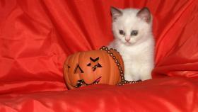 Foto 4 Wundersch�ne Colourpoint Britisch-Kurzhaar Kitten