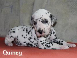 Foto 3 Wunderschöne Dalmatinerwelpen mit VDH Papieren