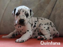 Foto 5 Wunderschöne Dalmatinerwelpen mit VDH Papieren