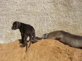 Foto 3 Wundersch�ne Deutsche Doggen Welpen