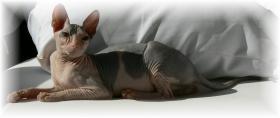 Foto 2 Wunderschöne Don Sphinx  Katze.